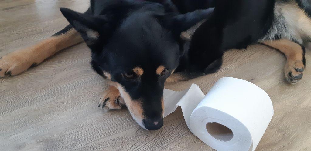 Kuvassa koira, joka leikkii vessapaperirullalla. Kuva: Kari Ruotsalainen